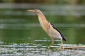 Little Bittern (Ixobrychus minutus) — Stock Photo
