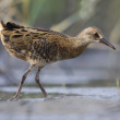 Foto de Stock  : Juvenile Water Rail