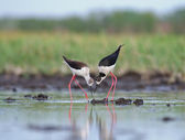 Black-winged Stilts are building the nest — Stock Photo