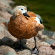 Ruddy Shelduck — Stockfoto