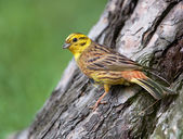 Yellowhammer — Stock Photo