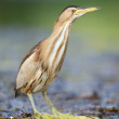Little Bittern — Photo