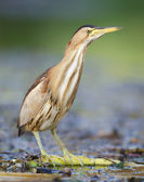 Little Bittern — Stock Photo