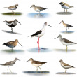 Set of shorebirds on white background — Stock Photo