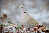 Eurasian Collared Dove — Stock Photo