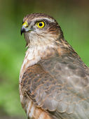 Sparrowhawk Portrait In Wildlife — Stock Photo