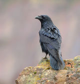 Raven posing on a rock — Stock Photo