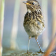 Juvenile Bluethroat — Stock Photo