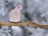 Collared Dove — Stock Photo