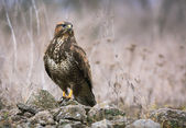 Common Buzzard In Wildlife — Stock Photo