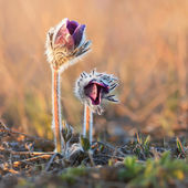 Small Pasque Flower — Stock Photo