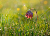 Snake's Head Fritillary — Stock Photo