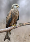 Black Kite On Nature Background — Stock Photo