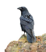 Raven perching on a rock — Stock Photo