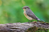 Red-breasted flycatcher — Stock Photo