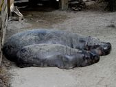 Two pygmy hippo — Stock Photo