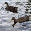 Stock Photo: Two ducks