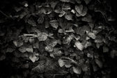Ivy's leaves — Stock Photo
