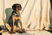 Cão vadio — Foto Stock