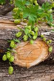 Hop on wood — Stock Photo