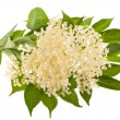 Stock Photo: Elder flowers