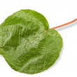 Stock Photo: Kiwi leaf