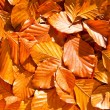 Stock Photo: Beech leaves
