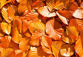 Beech leaves — Stock Photo