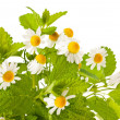 Stock Photo: Chamomile and lemon balm