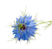 Nigella — Stock Photo