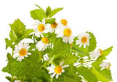 Chamomile and lemon balm — Stock Photo
