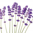 Lavender flowers — Stock Photo #27626819