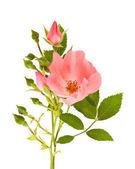 Dog rose — Stock Photo