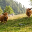 Stock Photo: Highland cattles