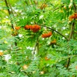Rowan fruits — Foto Stock
