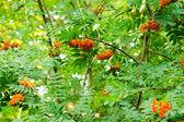 Rowan fruits — Stock Photo