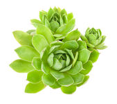 Houseleek — Stock Photo