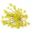 Wild fennel flowers — Stock Photo