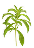 Stevia branch — Stock Photo