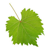 Vine leaf — Stock Photo