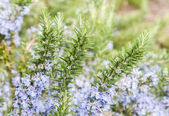 Rosemary in flowers — Foto Stock
