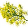 Wild fennel flowers — Stock Photo #48779999