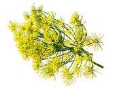 Divoký fenykl květiny — Stock fotografie