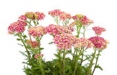 Yarrow — Stockfoto
