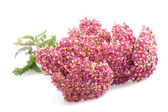 Yarrow — Stock Photo
