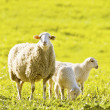 Sheep with several lambs on pasture in spring - Stock Photo