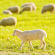 Stock Photo: Lamb herd passes near sunny day