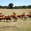 Stock Photo: Cattle grazing