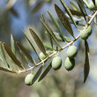Olives in the branch — Stock Photo