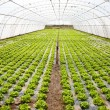 Stock Photo: Cultivation in hothouse